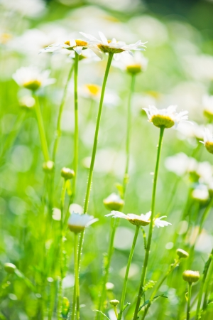Wild chamomile on a meadow. photo