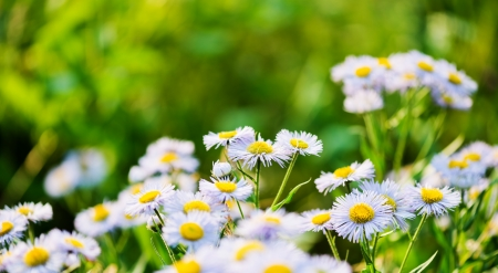 Wild blue asters Stock Photo - 15821902