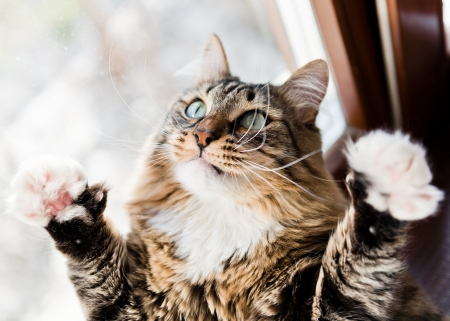 Funny male cat raises paws up photo