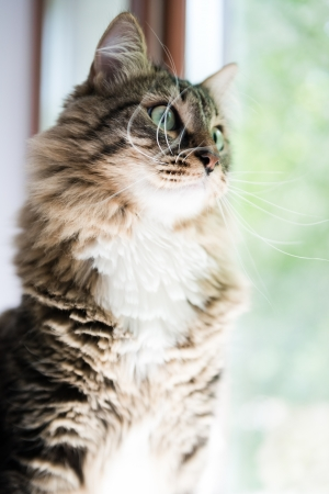 passionately: cat looking out the window passionately Stock Photo