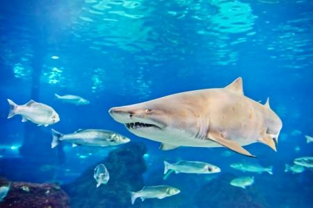 sand tiger shark (Carcharias taurus)  underwater close up portrait