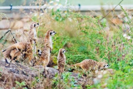 Suricate or meerkat (Suricata suricatta) family,  photo
