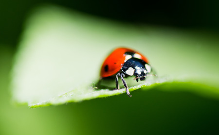 Ladybug on a leaf. Beautiful nature  photo