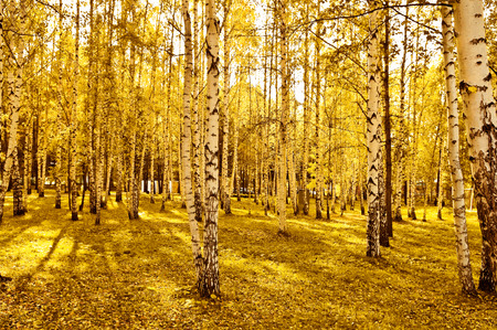 긴 그림자가있는 자작 나무 숲
