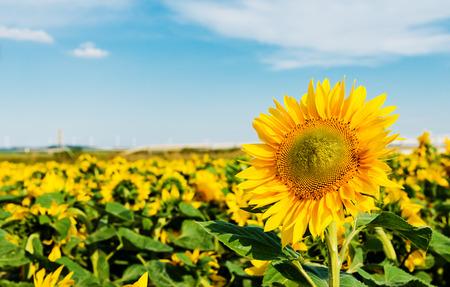 sun flowers field  photo