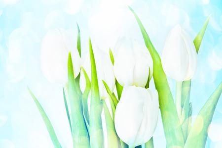 White Tulips on blue background photo