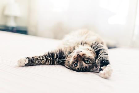 kotów: Szary kot leżący na łóżku i rozciąganie Zdjęcie Seryjne