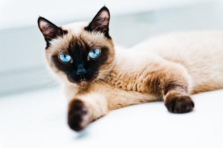 blue eyes: Cat with blue eyes Stock Photo