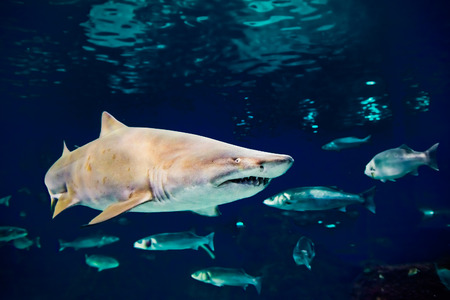 shark mouth: sand tiger shark (Carcharias taurus)  underwater close up portrait