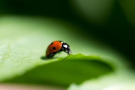 ladybug on leaf: Ladybug on a leaf. Beautiful nature