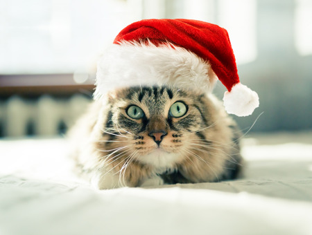 animals and pets: christmas cat in red Santa Claus hat Stock Photo