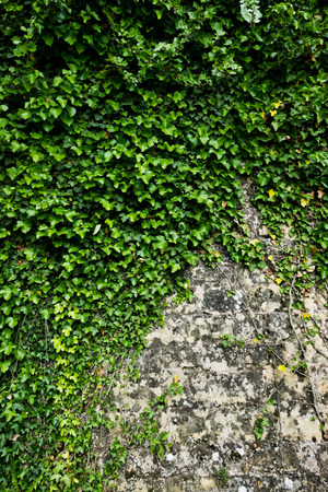 creeper: The green ivy on a stone wall, a beautiful background
