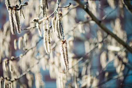 alder tree: Catkins on an Alder Tree in Spring, a close up