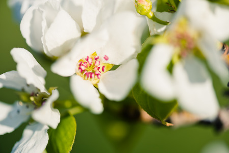 abloom: A blooming branch of apple tree in spring