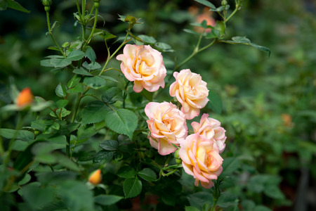 rose bush: blooming rose bush vin the garden.