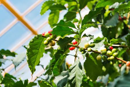 arbol de cafe: Cafeto con las bayas maduras frutas Foto de archivo