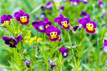 flamy: Viola and yellow tricolor pansy, flower bed bloom in the garden.