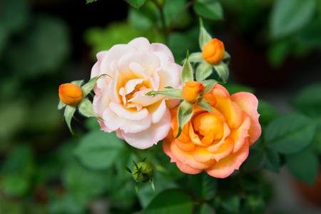 rose bush: blooming rose bush the garden. Stock Photo