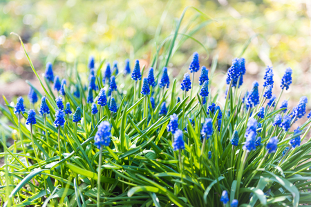 muscari flower or grape hyacinth in a defocused spring garden