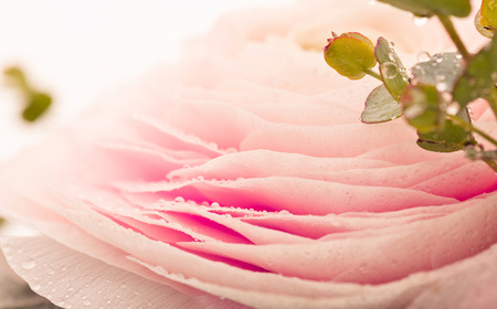Pink Ranunculus Flower with Water Drops on Petals Imagens