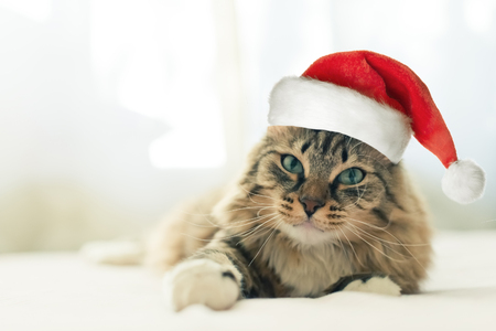 christmas cat in red Santa Claus hat Stock Photo
