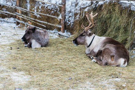 deers resting in winter forest