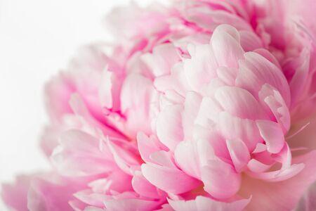 Rosa Pfingstrosenblume lokalisiert auf weißem Hintergrund