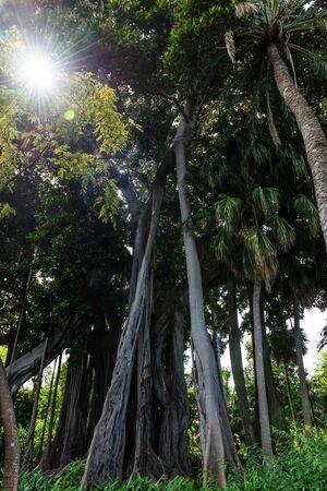 Ficus macrophylla f. columnaris, La estrategia del gigante, giant trees growing in Botanical garden of Puerto de la Cruz, Tenerife, Spain  Фото со стока