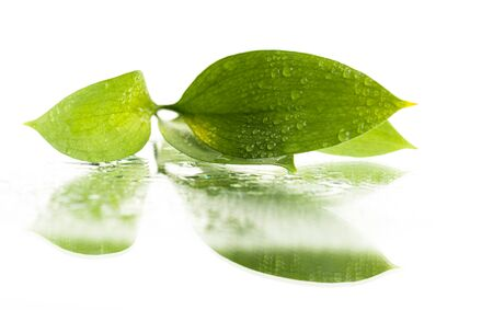leaves with drops and reflection on a white background Фото со стока
