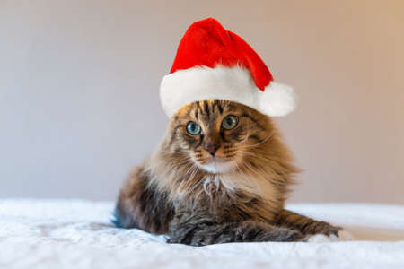 christmas cat in red Santa Claus hat Фото со стока