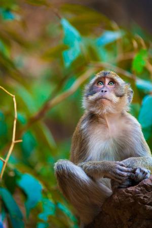 ubud: Monkey in the natural habitat, Thailand.