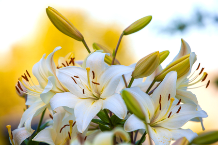 White yellow lilies at sunset in the garden. Yellow Asiatic Lilies in a flower garden