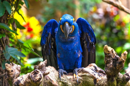 One blue hyacinth macaw on the branch smiles. A beautiful parrot in the tropical zoo of Ubud, Bali, Indonesia.