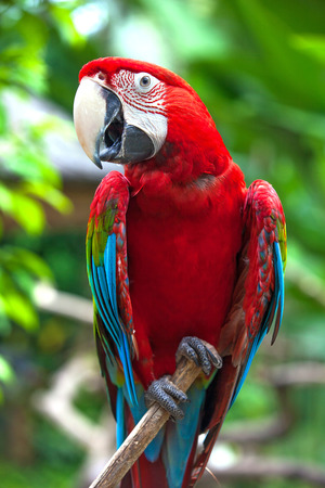 One red macaw (Ara ararauna) on a branch. A beautiful parrot in the tropical zoo of Ubud, Bali, Indonesia.