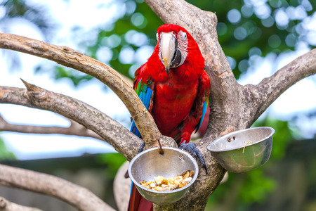 One red macaw (Ara ararauna) on the tree in front of the food trough. A beautiful parrot in the tropical zoo of Ubud, Bali, Indonesia. Stock Photo