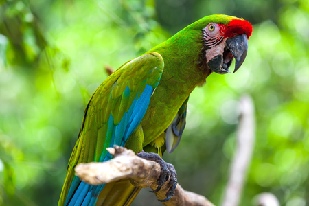 One green macaw (Ara ararauna) on a branch. A beautiful parrot in the tropical zoo of Ubud, Bali, Indonesia.