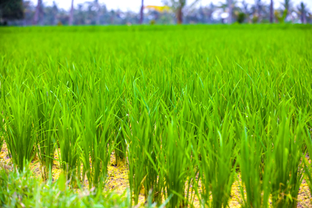 Close-up fresh green rice field natural background, young rice in farm dried water. Rice fields in Bali island, Ubud, Indonesia.