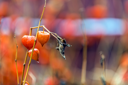 Physalis alkekengi, Solanaceae, dry lanterns of decorative, red ground cherries of nightshade family in the garden. Mature fruits of physalis ordinary with orange red cups in the autumn in soft focus.