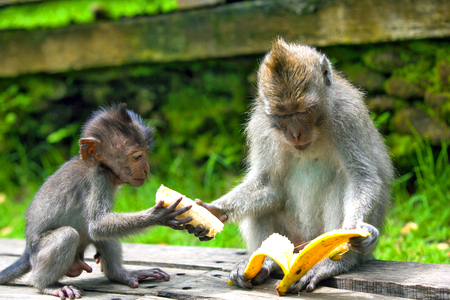 babies: An adult macaque shares a banana with a young monkey from hand to hand. Cute monkeys lives in Ubud Monkey Forest, Bali, Indonesia.