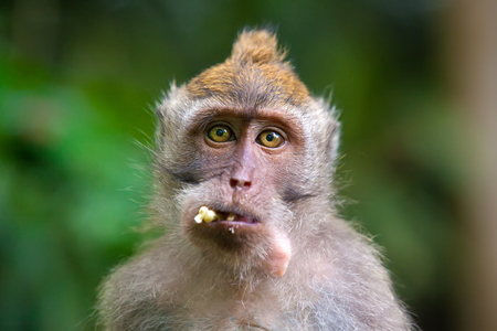 Portrait of a funny hungry macaque with a mouthful of banana looks with a request in the frame. Cute monkeys lives in Ubud Monkey Forest, Bali, Indonesia.
