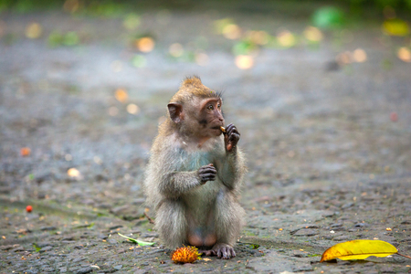 Macaque sits on a stone path, gnaws a nut and looks away in surprise. Cute monkeys lives in Ubud Monkey Forest, Bali, Indonesia. Stock Photo