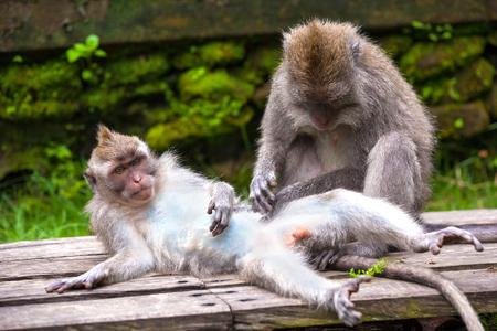 macaco con pene)