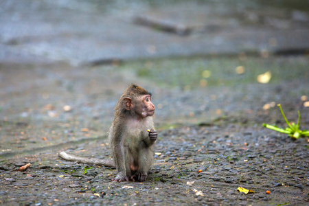 A small macaque sits on a stone path and looks away in surprise. Cute monkeys lives in Ubud Monkey Forest, Bali, Indonesia. Stock Photo