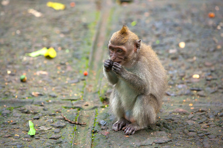 A funny macaque sits on a stone path. Cute monkeys lives in Ubud Monkey Forest, Bali, Indonesia. Stock Photo