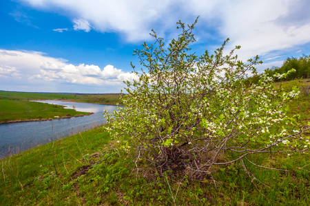 A bush with small white flowers blossoms on the riverbank against a blue sky with white clouds. Green spring in Russia.