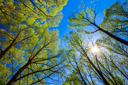 Lush spring green foliage on tall trees, against a blue sky and a bright sun with rays. Look up in the forest to the blue sky.