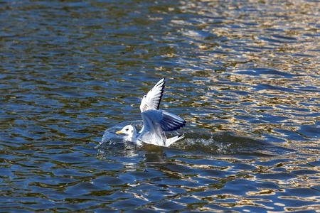 Weiße Möwe mit offenen Flügeln landet auf dem Wasser des Teiches, Nahaufnahmemöwe fliegt in der Stadt.