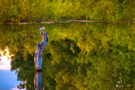 The bird sits on a dried-up stump in the middle of the lake in a yellow green environment of trees in the forest reflecting on the surface of the water. 版權商用圖片