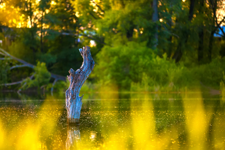 Dried gray blue snag sticks out of the lake in the shade in a yellow green environment of trees in the forest, reflected on the surface of the water.