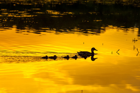 Silhouette of a duck family wedge walking along the watery surface of bright yellow orange color from the evening sun at sunset in a pond lake or river. 版權商用圖片